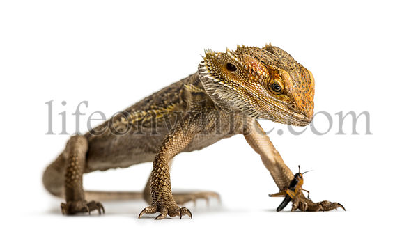 Bearded dragon and cricket, isolated on white