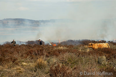 Burning scrub to encourage new growth for cattle grazing in the Peak District National Park, Derbyshire.