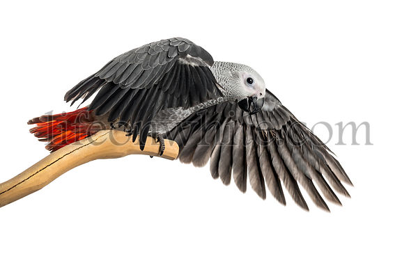 African Grey Parrot (3 months old) perched on a branch and flapping its wings, isolated on white