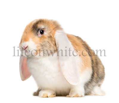 French Lop rabbit in front of white background