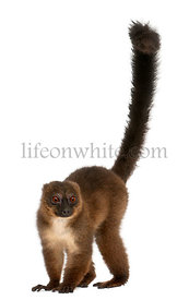 Red-bellied Lemur, Eulemur rubriventer, 21 years old, in front of white background
