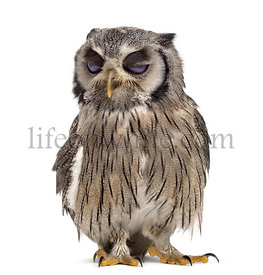Northern white-faced owl winking - Ptilopsis leucotis (1 year old) in front of a white background