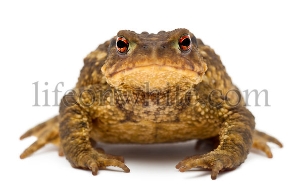 Common toad, Bufo bufo, against white background