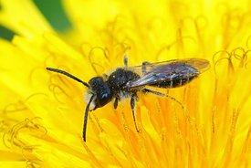 Closeup of a male red bellied miner , Andrena ventralis on the yellow flower of a dandelion , Taraxacum officinale