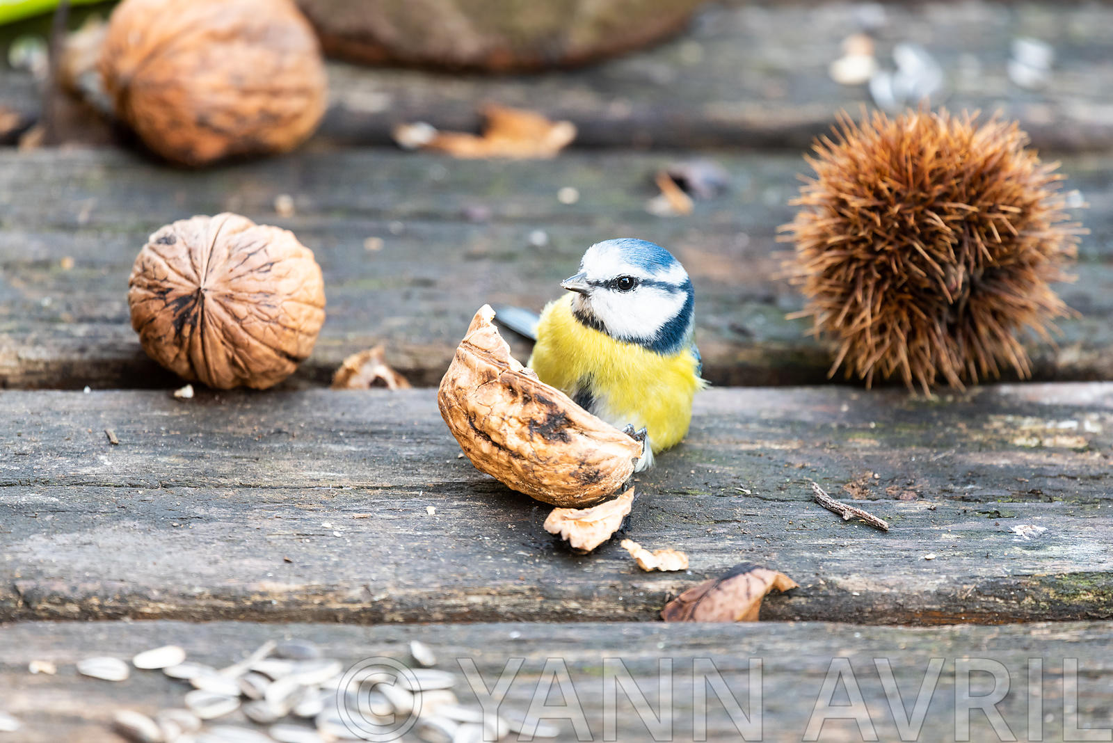 Blue tit eating nuts  on a wooden table, France, autumn