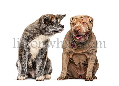 two dogs, Sharpei and Akita inu dog, isolated on white