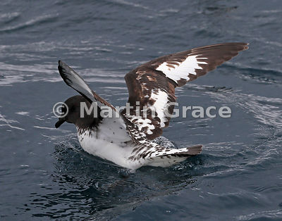 Cape Petrel (Daption capense) with wings still raised after landing on the water, Kaikoura, Canterbury, South Island, New Zea...