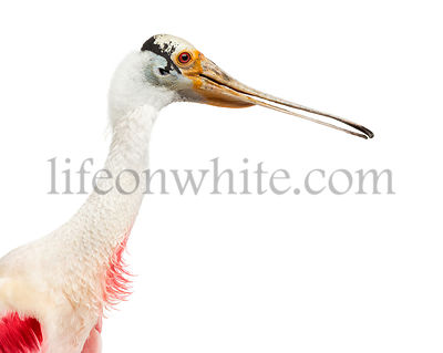 Close-up of a roseate spoonbill, isolated on white