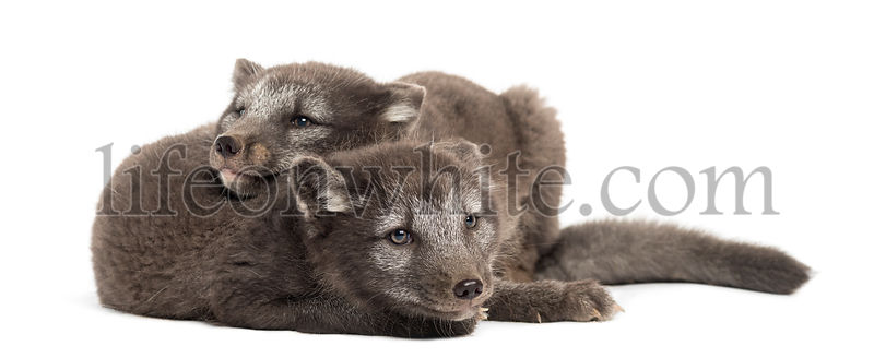 Two Arctic fox cubs, Vulpes lagopus cuddling, 2 months old, isolated on white