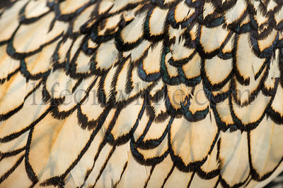 Macro of a Sebright bantam rooster\'s feather