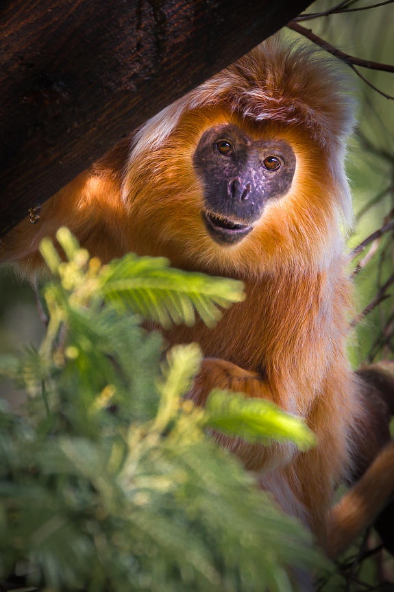 Eastern Javan Langur With Rare Golden Morph II