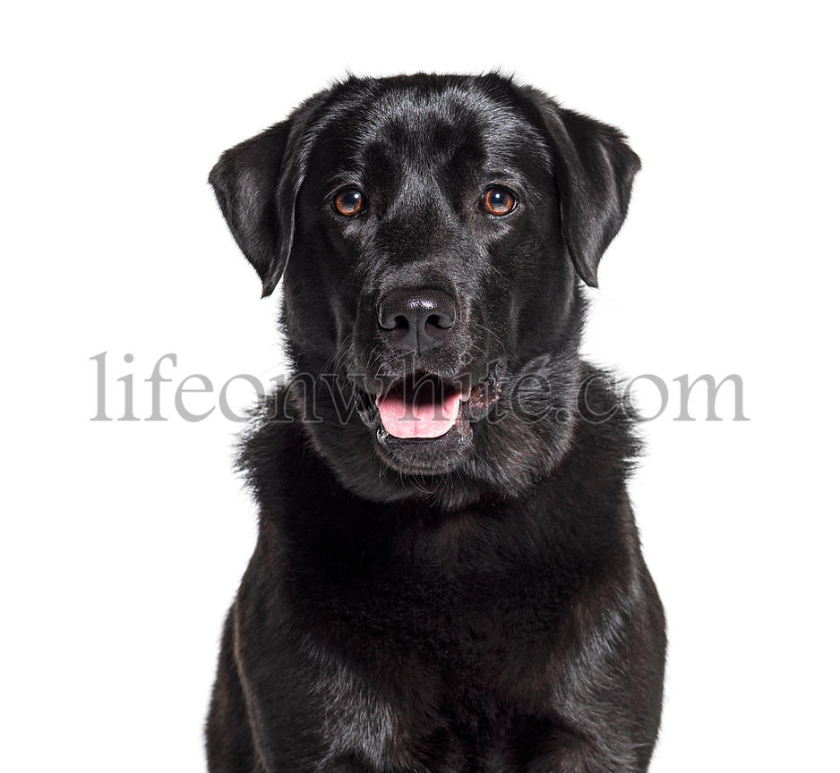 Headshot of a Black Labrador Retriever, isolated on white