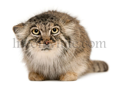 Pallas\\'s cat, Otocolobus manul, 11 years old, in front of white background