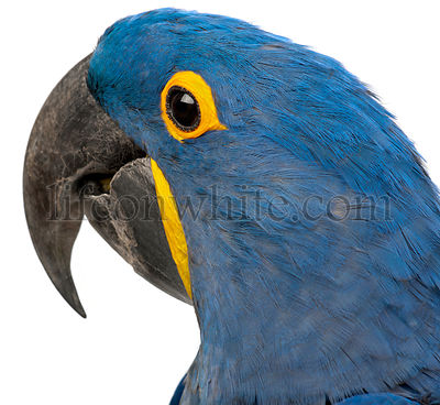 Hyacinth Macaw, Anodorhynchus hyacinthinus, 30 years old, close up against white background