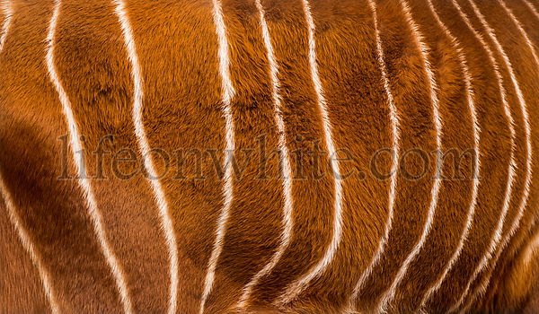 Close up of Bongo, Tragelaphus eurycerus, an antelopes hide