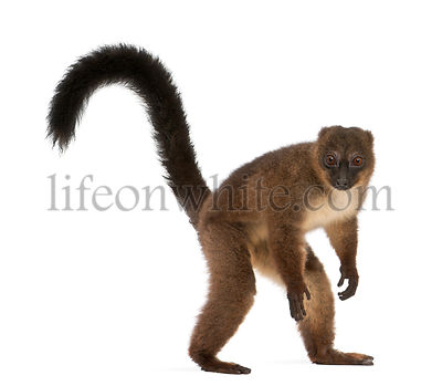 Red-bellied Lemu, Eulemur rubriventer, 21 years old, in front of white background