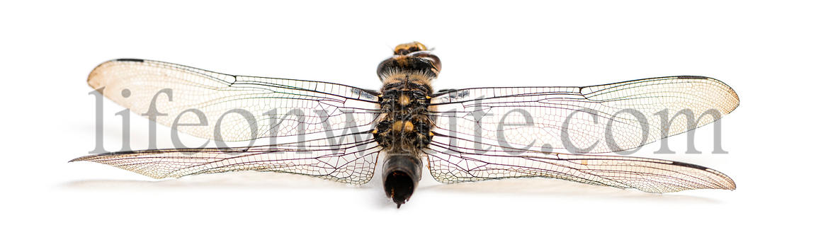Rear view of a dead Cordulegaster bidentata in state of decomposition, isolated on white