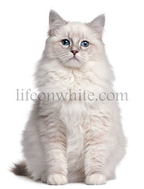 Ragdoll kitten, 5 months old, in front of white background