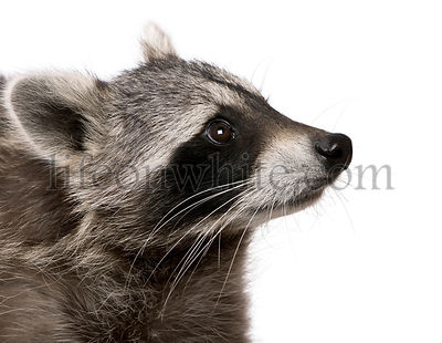Raccoon in front of white background