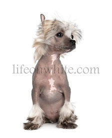Portrait of hairless Chinese Crested Dog, 3 months old, studio shot