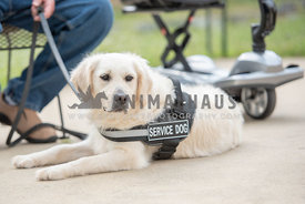 golden retriever wearing service dog vest lying next to companion and wheelchair