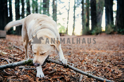 A yellow lab chewing a stick in the fall in an open forest