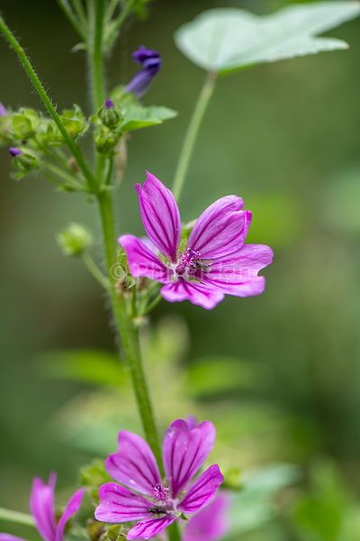 Common mallow flower