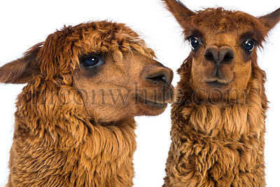 Close-up of Two Alpacas against white background