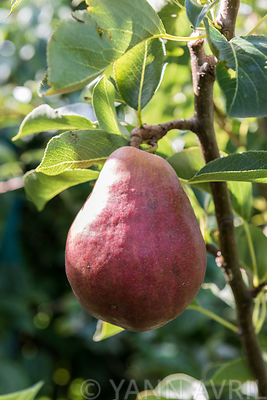 Pyrus - Pear 'Williams Red'