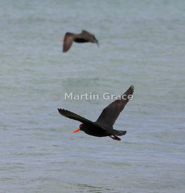 Dark morph Variable Oystercatcher (Black Oystercatcher) (Haematopus unicolor) in flight, Butterfield Beach, Stewart Island, S...