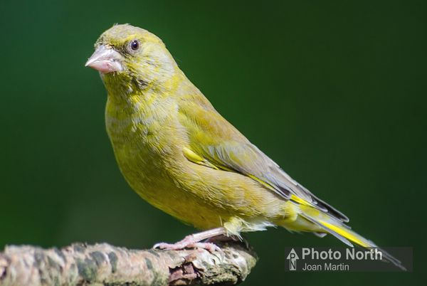 GREENFINCH 01A - Greenfinch