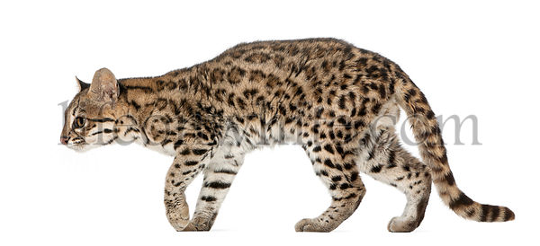 Oncilla, Leopardus tigrinus, 19 years old, in front of white background