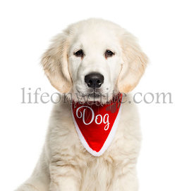 Golden Retriever sitting in front of white background