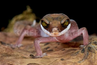 Striped cat gecko  (Aeluroscalabotes felines multituberculatus)