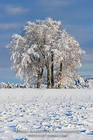 Image - Trees on skyline covered in snow and hoar frost