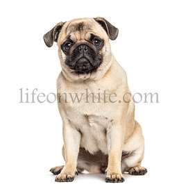 Sitting Pug, isolated on white
