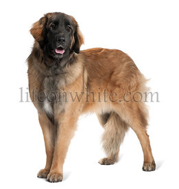 Leonberger dog, 10 months old, standing in front of white background