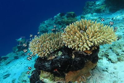 Acropora Coral in Ahe's lagoon