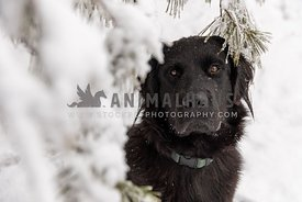 A newfoundland dog sitting under an evergreen tree in winter