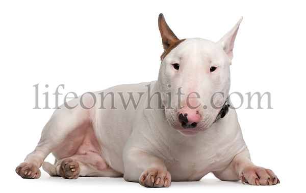 Bull Terrier, 9 months old, lying in front of white background