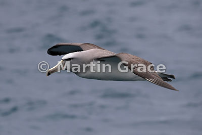 Salvin's Mollymawk (Salvin's Albatross) (Thalassarche salvini) in flight in rain, Kaikoura Coast, Canterbury, South Island, N...