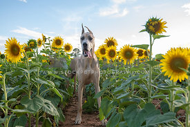 fully body shot of great dane standing in sunflower field