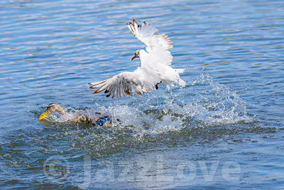 Waterbirds fighting for food.