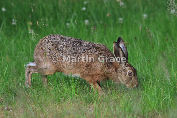 European Brown Hare (Lepus europaeus) grazing in a meadow, Cairngorm National Park, Scotland