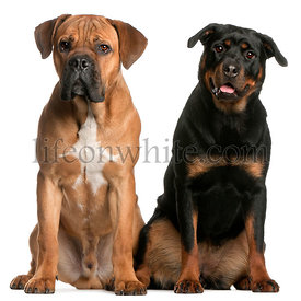 Cane Corso, 9 months old, and a Rottweiler sitting in front of white background