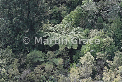 Tree ferns prominent among other native vegetation in Rangitoto Island crater, Hauraki Gulf, Auckland, North Island, New Zealand