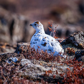 Rjúpa_-_Rock_ptarmigan_Iceland_emm.is-13