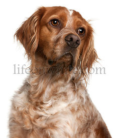 Close-up of Brittany dog, 3 years old, in front of white background