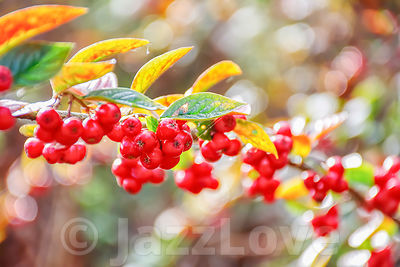 Red autumn berries