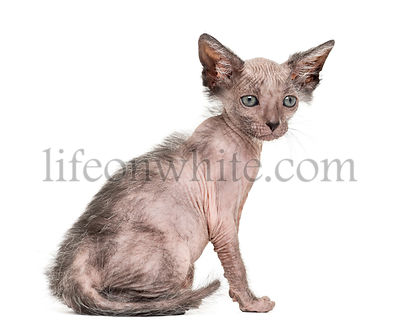 Kitten Lykoi cat, 7 weeks old, also called the Werewolf cat sitting against white background